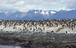 King Cormorant colony, Argentina Royalty Free Stock Photography