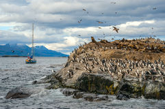 King Cormorant colony, Beagle Channel, Argentina - Chile. King Cormorant colony sits on an Island in the Beagle Channel. Sea lions are visible laying on the Royalty Free Stock Photography