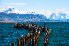 King Cormorant colony, Puerto Natales, Chile. King Cormorant colony, Old Dock, Puerto Natales, Chile Royalty Free Stock Photos