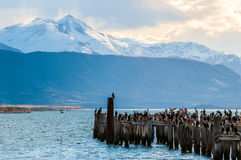 King Cormorant colony, Puerto Natales, Chile. King Cormorant colony, Old Dock, Puerto Natales, Chile Stock Images