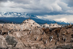 King Cormorant colony sits on an Island in the Beagle Channel. Sea lions are visible laying on the Island as well. Tierra del Fuego, Argentina - Chile Stock Image