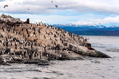 King Cormorant colony, Tierra del Fuego, Argentina. King Cormorant colony sits on an Island in the Beagle Channel. Sea lions are visible laying on the Island as Royalty Free Stock Images