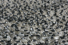 King cormorant, Phalacrocorax atriceps albiventer. Group in colony, Falklands Stock Photos