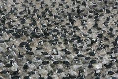 King cormorant, Phalacrocorax atriceps albiventer Stock Photos