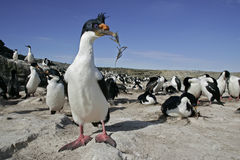 King cormorant, Phalacrocorax atriceps albiventer Royalty Free Stock Images