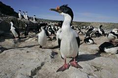 King cormorant, Phalacrocorax atriceps albiventer Royalty Free Stock Photo