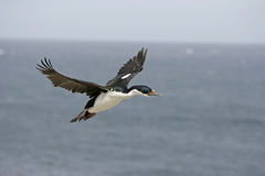 King cormorant, Phalacrocorax atriceps albiventer. Single bird in flight, Falklands Stock Photo