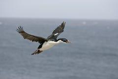 King cormorant, Phalacrocorax atriceps albiventer Stock Photo