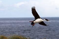 King cormorant Royalty Free Stock Photo