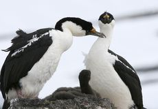 King cormorants. (phalacrocorax atriceps) preening on Goudier Island, Antarctica Stock Photo