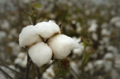 King Cotton Royalty Free Stock Photography