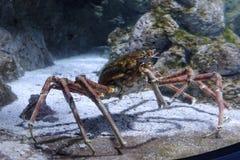 King Crab. An Alaskan cold water King Crab in an aquarium stock image