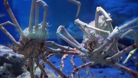 King Crab at aquarium ocean dark blue bottom stock video