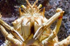 King crab Stock Image
