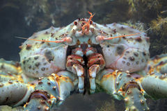 King crab close up Royalty Free Stock Photography