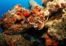 King crab on coral reef Stock Image