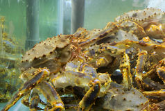 King crab. S in the fish tank Royalty Free Stock Photography