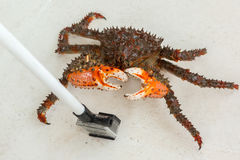 King crab hides her face from prying paparazzi. Royalty Free Stock Image