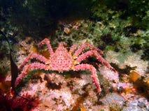 King crab Royalty Free Stock Photo