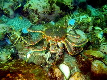 King crab Royalty Free Stock Image
