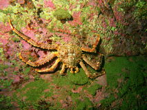 King crab Royalty Free Stock Photography