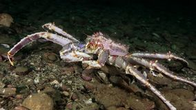 King crabs eats underwater on seabed of Barents Sea on Kamchatka. Nature in clean transparent cold water. Wildlife on background of blue marine in Arctic ocean stock video footage