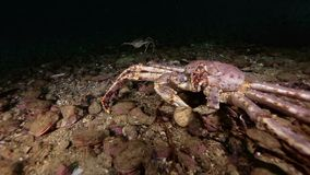 King crabs underwater on seabed of Barents Sea on Kamchatka. Nature in clean transparent cold water. Wildlife on background of blue marine in Arctic ocean stock video