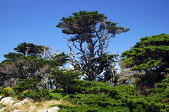 King Cyprus. Point Lobos, California Coast stock photography