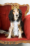 King dog. Royal dog: mixed breed dog with crown sitting in a red velvet sofa Stock Image