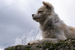 The king. This dog is acting as the King Leon Royalty Free Stock Photos
