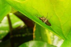 King dragonfly larva Stock Photos