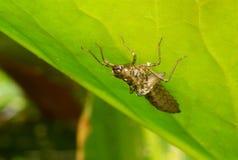 King dragonfly larva Stock Photography