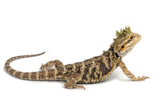 King Drake the Bearded Dragon. Bearded Dragon On White Background Royalty Free Stock Photo