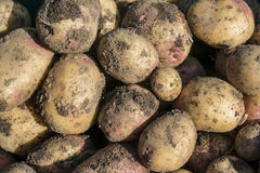 King Edward Potatoes Stock Photography