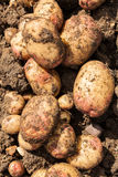 King Edward Potatoes Royalty Free Stock Photography