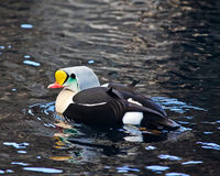 King Eider Royalty Free Stock Photo