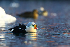 King Eider in Barents sea Royalty Free Stock Images