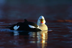 King eider looking at you Stock Image