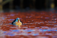 King eider in red water Royalty Free Stock Images