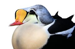 King eider - Somateria spectabilis Royalty Free Stock Photos