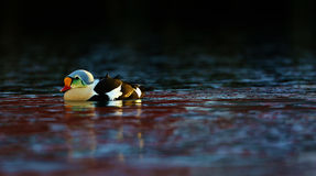 King eider swimming Royalty Free Stock Images