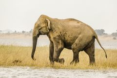 The king elephant , Big foot. Huge asian wild from beautiful safari park , srilanka Royalty Free Stock Photography