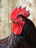 King of the farmyard. A proud rooster Royalty Free Stock Photos