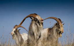 King of the Feral Goats Royalty Free Stock Images