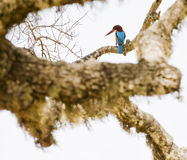 King fisher. Photo of a king fisher in a tree Royalty Free Stock Image