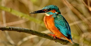 King fisher Alcedo atthis stock photos