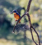 King Fisher Stock Photography