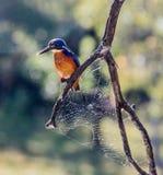 King Fisher. Australian water bird found all around Australia. shot in southeast Queensland Stock Photography