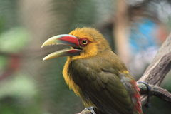 King Fisher Bird. Beautiful King Fisher sitting on a limb Stock Photography