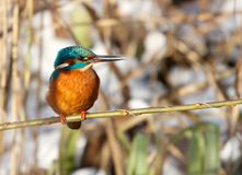King fisher bird Stock Image